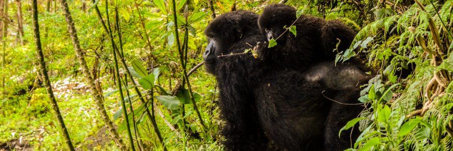 Gorillas in the Mist (Literally!)